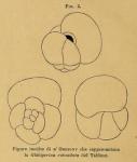Globigerina rotundata d'Orbigny in Fornasini, 1898