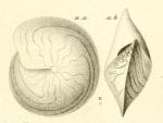 Amphistegina lessonii d'Orbigny in Guérin-Méneville, 1832
