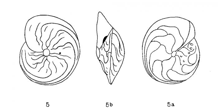 Amphistegina madagascariensis d'Orbigny in Fornasini, 1903