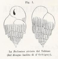 Bulimina striata d'Orbigny in Guérin-Méneville, 1832