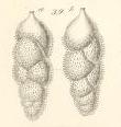 Uvigerina gracilis Reuss, 1851