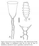Orthopyxis integra (MacGillivray, 1842)