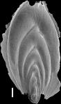 Mucronina silvestriana (Thalmann, 1952) Identified specimen