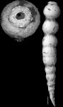 Ellipsonodosaria? jarvisi  Cushman, 1936. Holotype