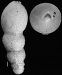 Stilostomella rugosa Guppy, 1894. Identified specimen