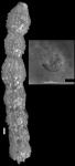 Siphonodosaria chileana Todd & Knicker, 1952. Holotype