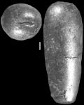 Daucinoides circumtegens de Klasz & Rerat, 1962 Topotype