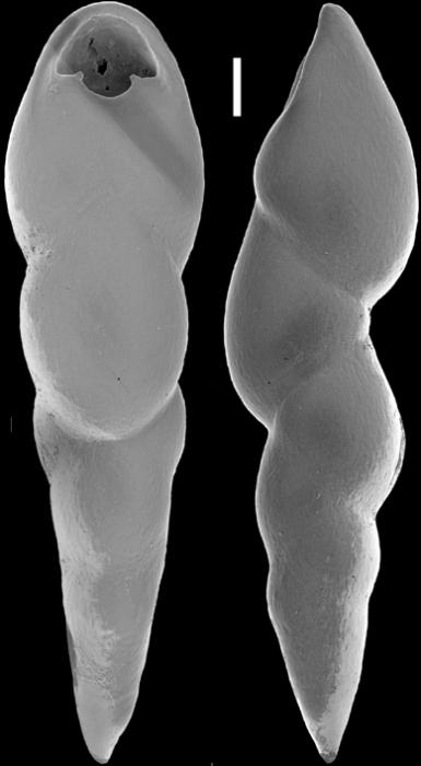 Pleurostomella alternans Schwager, 1866. Identified specimen