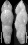 Pleurostomella paleocenica Cushman, 1947, Holotype