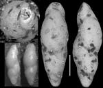 Pleurostomella velascoensis Cushman, 1926. Holotype