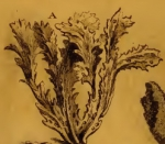 Spongia frondosa Pallas, 1766