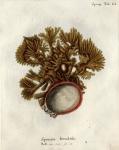 Spongia frondosa sensu Esper, 1797