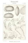 Hemicythere villosa from Sars, 1925_An account of the Crustacea of Norway_Ostracoda_Parts XI u XII