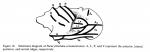 Paracytheridea from Allison & Holden, 1971