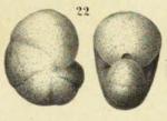 Nonionina inflata Alth, 1850