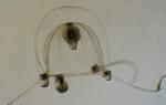 Codonium proliferum, female medusa from the English Channel