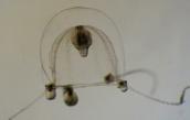 Codonium proliferum, female medusa from the English Channel, author: Schuchert, Peter
