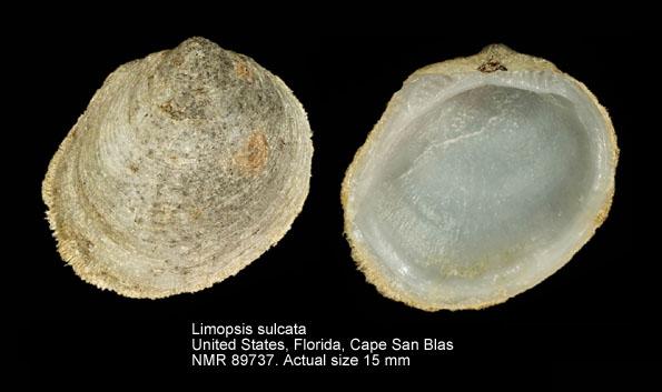 Limopsis sulcata