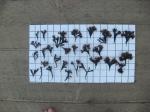 Chondrus crispus - Irish moss