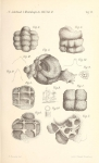 Thuramminopsis canaliculata Häusler, 1883