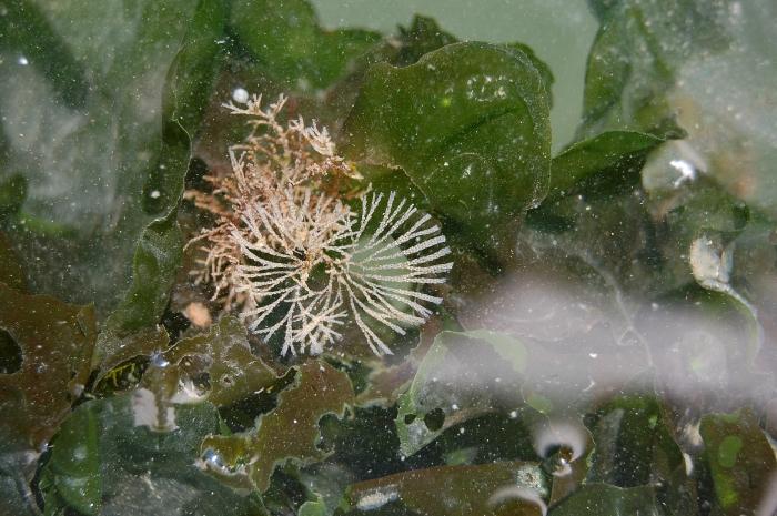 Bugula simplex