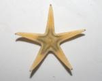 Bathybiaster vexillifer