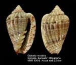 Glabella mirabilis