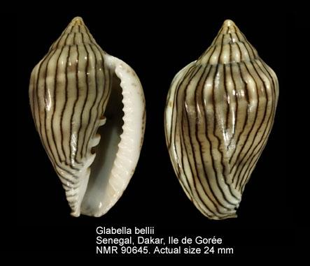 Glabella bellii