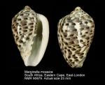 Marginella mosaica