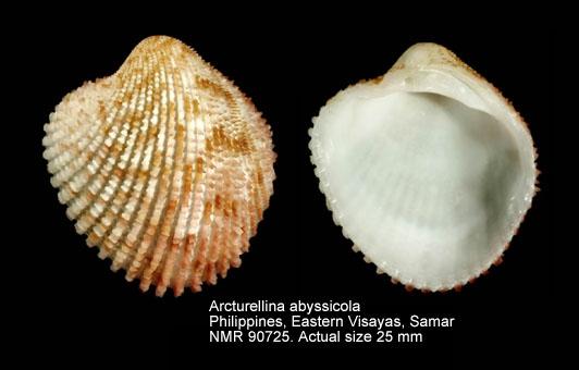 Arcturellina abyssicola