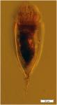 Xystonellopsis scyphium