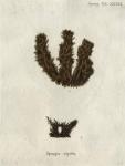 Spongia rigida Esper, 1794