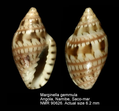 Marginella gemmula