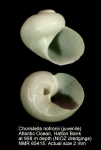 Choristella nofronii
