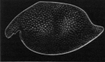 Angulorostrum segonzaci Kornicker, 1981
