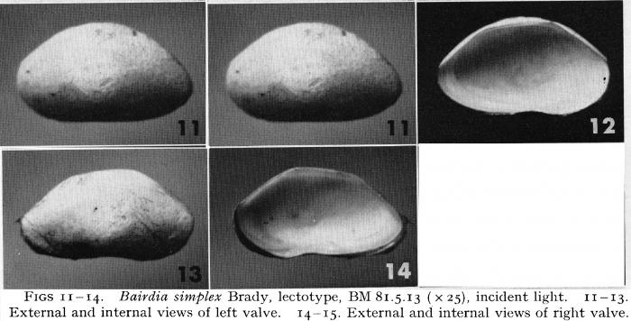 Bairdia simplex - Lectotype, Puri & Hulings, 1976
