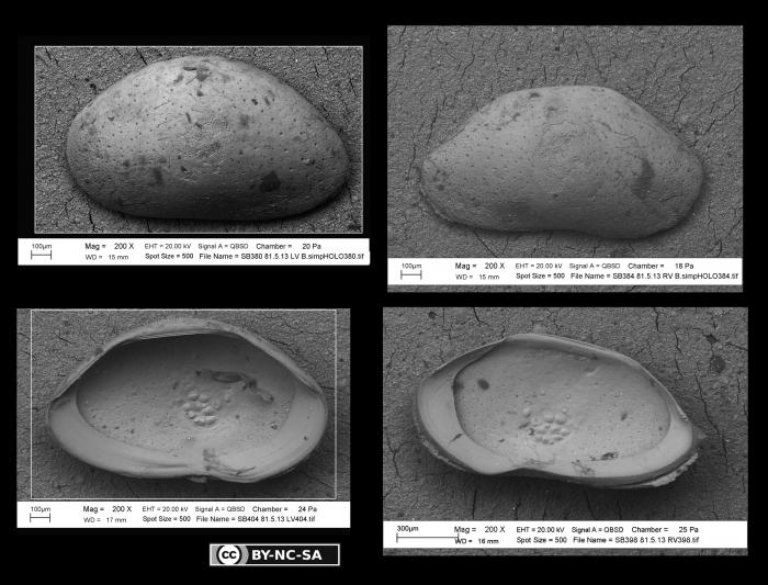 Bairdia simplex Brady, 1880 - Lectotype