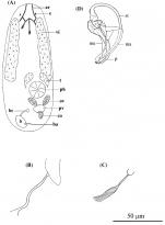 P. caribbaea