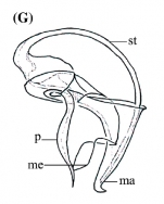 P. mackfirae