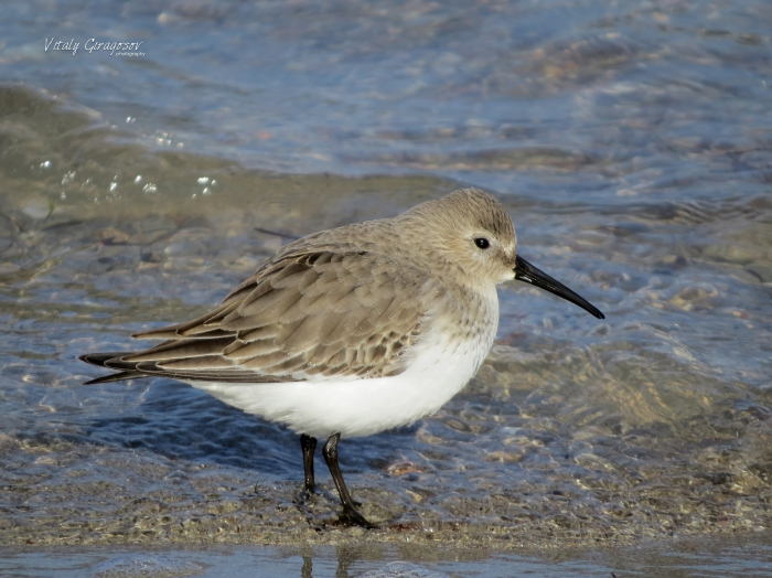 Dunlin (Calidris alpina) in winter plumage.