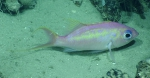 Anthias woodsi, 400 mGulf of Mexico  Image courtesy of the NOAA Office of Ocean Exploration and Research, Gulf of Mexico 2017. Identification from photograph by A. Quattrini.