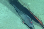 Cataetyx laticeps, 1566 mGulf of Mexico  Image courtesy of the NOAA Office of Ocean Exploration and Research, Gulf of Mexico 2017. Identification from photograph by A. Quattrini.