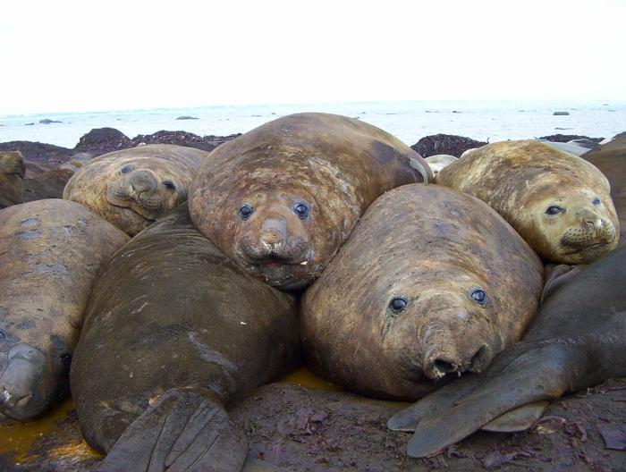 Many Elephant seals