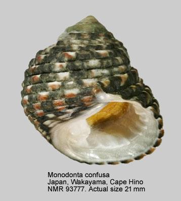 Monodonta confusa