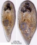 Nadina evelinae