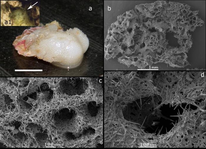 Borojevia voigti holotype