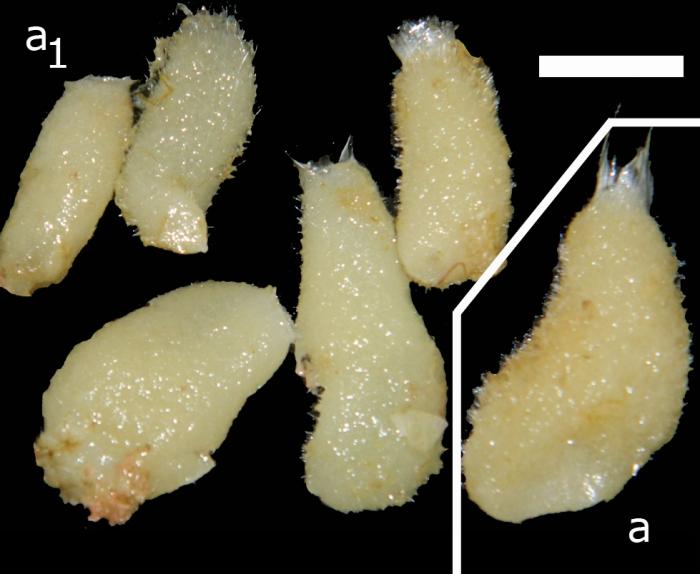 Paraleucilla erpenbecki habitus