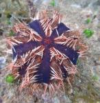 Tripneustes gratilla Mayotte