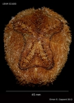 Brissopsis columbaris, aboral view