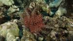 Acanthaster planci Crown of Thorns SeaStar DMS